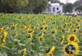 Vườn hoa hướng dương 2.000 m2 giữa thủ đô Hà Nội