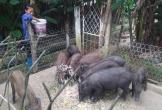 Nông dân nuôi lợn rừng ở vùng biển, thu 200 triệu mỗi năm