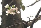 Hoa anh đào Nhật Bản nở bất thường vào giữa tháng 10