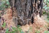 Khoan lỗ đổ chất độc bức tử hàng trăm cây thông