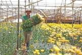 Nông dân Quảng Bình tất bật vào vụ hoa Tết
