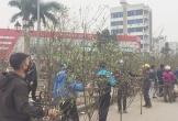 Dân nghèo Quảng Bình chặt đào cành bán lấy tiền ăn Tết