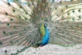 Chỉ từ 2 chú chim công, bất ngờ có thu nhập 200 triệu đồng/năm