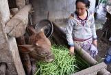 Ngậm ngùi đổ rau xanh cho heo, bò ăn