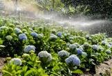 Vườn hoa cẩm tú cầu hơn 36.000 cây sắp có tại Đà Lạt