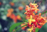 Quảng Bình: Say đắm với sắc hoa vàng anh giữa lòng di sản