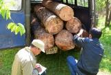Lâm Đồng: Đưa ô tô đi trộm gỗ thông cổ thụ