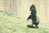 Con khỉ đột đi thẳng như người vì không muốn tay dính bẩn