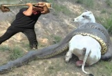 Nghẹt thở giải cứu bò mang thai khỏi trăn anaconda khổng lồ