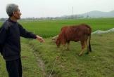 Vụ chăn trâu bò phải đóng phí đồng cỏ: Hoàn trả tiền cho dân