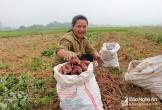 Nông dân Anh Sơn thu 80 triệu đồng/ha từ trồng khoai lang