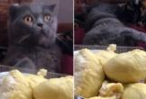 Clip: Chú mèo lăn quay ra ngất xỉu khi ngửi mùi sầu riêng