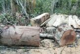 Khởi tố vụ khai thác trái phép gần 40m3 gỗ