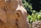 Đàn voi kéo gỗ ở rừng Quảng Bình