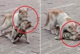 Mèo hoang đau đớn tha xác bạn khiến triệu người bật khóc