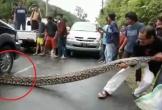 Clip: Trăn khổng lồ dài 10m bị ô tô cán, dân hò nhau hiệp lực giải cứu
