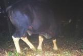 Phát hiện bò tót gần suối nước nóng Bang ở Quảng Bình