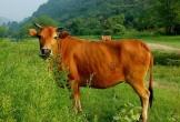 Trộm cắp bò hoành hành tại các vùng quê Quảng Bình