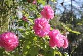 Hồi sinh thành phố hoa hồng