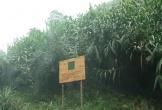 Mô hình trồng cây đót của người dân tộc Vân Kiều