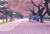 Sakura - loài hoa ca ngợi lòng tốt của người Nhật Bản
