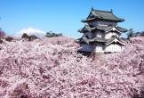 Chiêm ngưỡng hoa anh đào trên những chuyến tàu ở vùng Tohoku