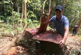 Bắt tạm giam 2 đối tượng phá rừng gỗ lim quý ở Quảng Bình