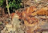 """Rừng phòng hộ ở Quảng Bình bị lâm tặc ngang nhiên """"xẻ thịt"""""""