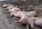 Phát hiện ổ dịch tả lợn châu Phi