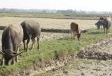 Quảng Bình: Hơn 150 trâu, bò chết rét